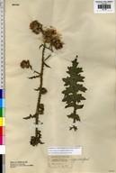 Carduus crispus ssp. multiflorus