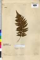 Dryopteris sp.
