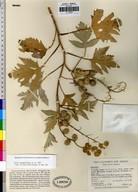 Ambrosia sp.