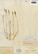 Agrostis tandilensis