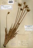 Agoseris grandiflora