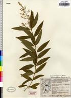 Aloysia triphylla