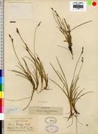 Carex livida