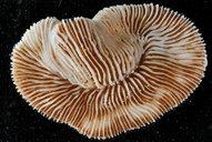 Fungia paumotensis