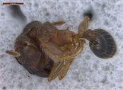 Pheidole megacephala