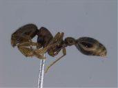 Solenopsis globularia