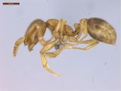 Solenopsis papuana
