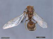 Solenopsis geminata