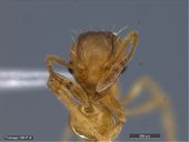 Wasmannia auropunctata