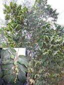 Castilla elastica ssp. elastica