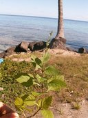 Salvia occidentalis