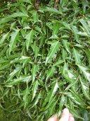 Polyscias fruticosa