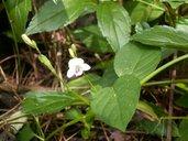 Asystasia gangetica spp. micrantha