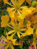 Delonix regia f. flavida