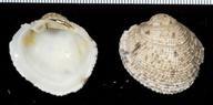 Periglypta reticulata