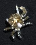 Fungicola sp. 1