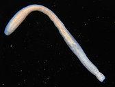 Pseudoceros bimarginatus