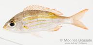 Gnathodentex aureolineatus