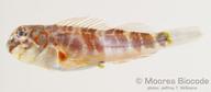 Stanulus seychellensis