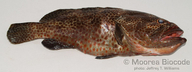 Epinephelus tauvina
