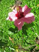 Hibiscus rosa-sinensis var.