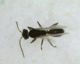 Technomyrmex sp.