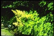 Aruncus dioicus var. acuminatus