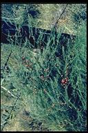 Asparagus officinalis ssp. officinalis