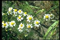 Anthemis cotula