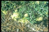 Ceanothus cordulatus