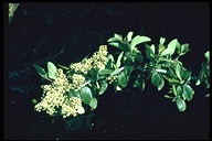 Ceanothus incanus