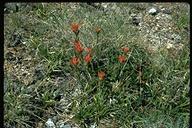 Castilleja miniata ssp. elata