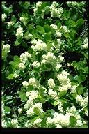 Ceanothus X lorenzenii