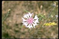Centaurea cyanus var. alba