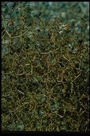 Eriogonum rixfordii