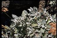 Eriogonum giganteum var. giganteum