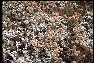 Eriogonum latifolium