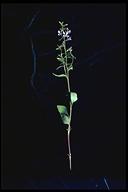 Clarkia exilis
