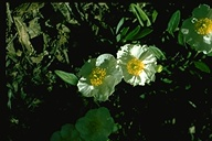 Carpenteria californica