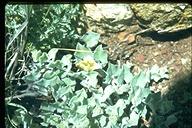 Convolvulus sp.