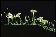 Calystegia macrostegia ssp. tenuifolia