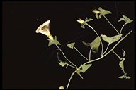 Calystegia malacophylla var. berryi