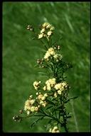 Baccharis salicifolia