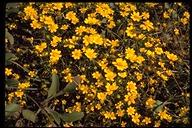Lasthenia californica ssp. californica