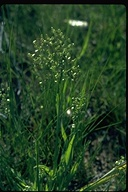 Little Quakinggrass