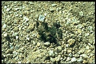 Draba longisquamosa