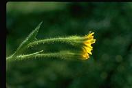 Crepis monticola