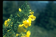 Cytisus scoparius ssp. scoparius