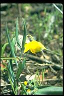 Calochortus sp.