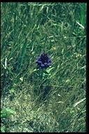 Prunella vulgaris
